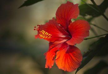 Bienfaits du jus de Bissap ou la fleur d'hibiscus